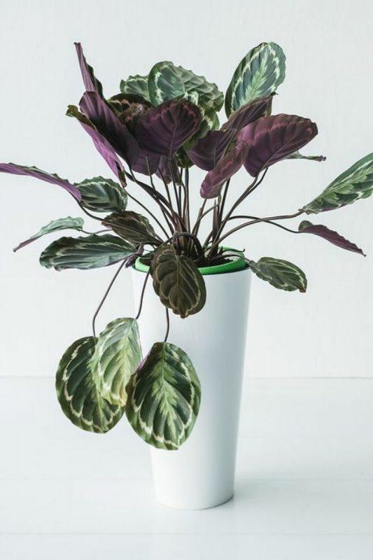 نبات الكالاثيا