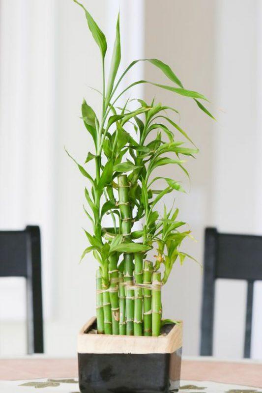 نباتات تناسب غرفة الحمام : نبات البامبو