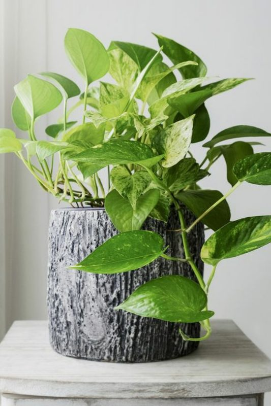 نبات بوثوس الذهبي