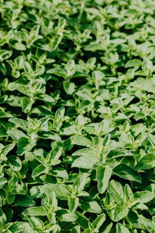 نباتات طاردة للناموس : النعناع