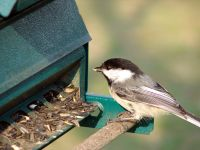 200px-Chickadee-Eating-7880