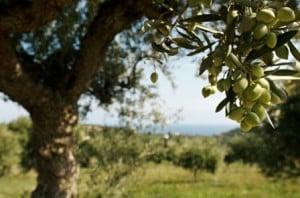 إسبانيا و البرتغال ايضاً من أماكن زراعة الزيتون