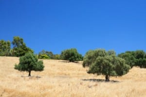 اليونان و زراعة الزيتون