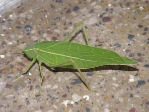 الحشرة شبيهة أوراق الشجر