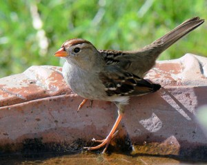 550px-Immature-White-Crowned-Sparrow-3918