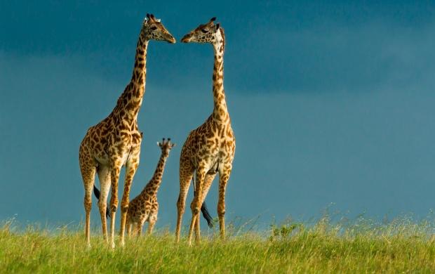 الزرافة (Giraffe )