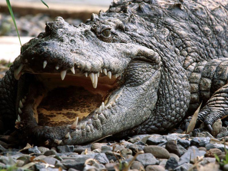 تمساح الماء المالح (Saltwater Crocodile )