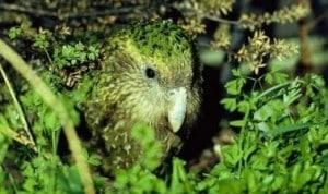 Female-kakapo