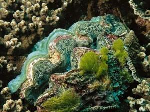 Four-Fantastic-Reef-Creatures-Clam1