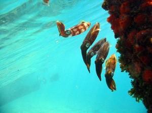 Four-Fantastic-Reef-Creatures-Squid1