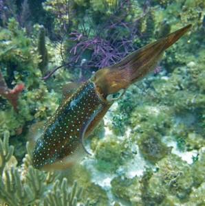 Four-Fantastic-Reef-Creatures-Squid4
