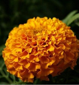 Free-shipping-Flower-seed-marigold-seed-Cao-Furong-cellular-Chrysanthemum