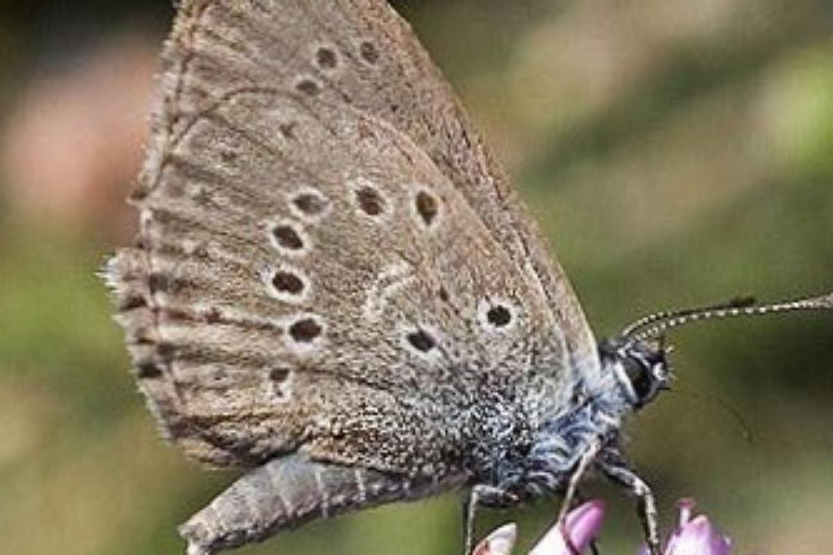 حيوانات منقرضة : الفراشة الزرقاء الهولندية