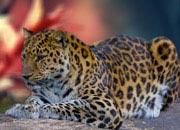 amur-leopard-banner