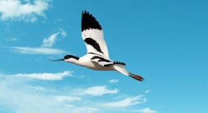 avocest-flying