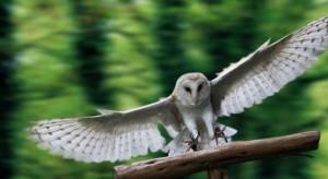barn-owl-flying-sitting