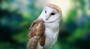 barn-owl-gazing