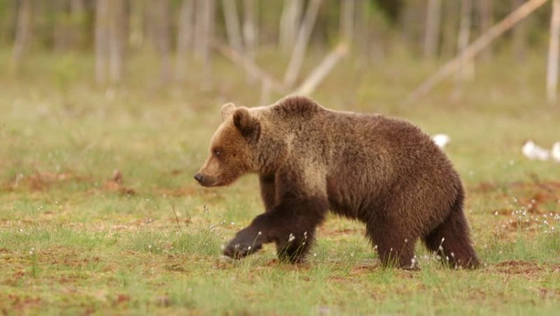 الدب البني (Brown Bears)