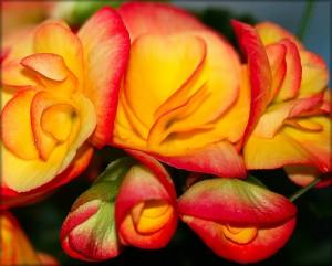 زهرة البغونية Begonia