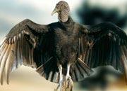 black-vulture-banner