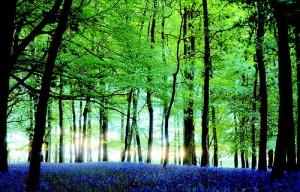 زهرة الأجراس الزرقاء