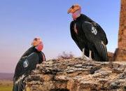 californian-condor-banner