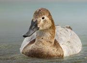 canvasback-duck-banner