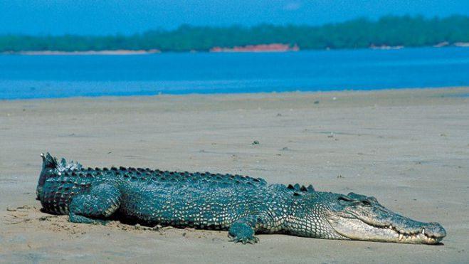 Photo of تمساح المياه المالحة افتك حيوانات المحيط