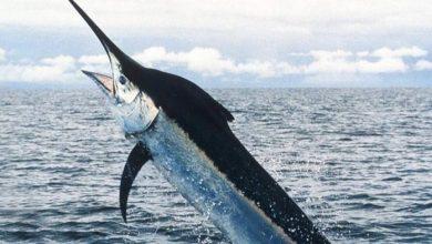 Photo of سمك المارلن.. افتك حيوانات المحيط