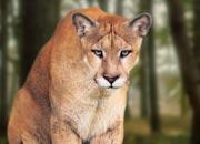 florida-cougar-banner