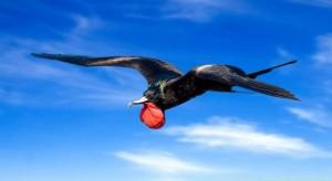frigate-bird