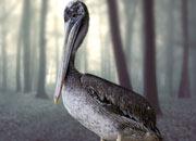 grey-pelican-banner