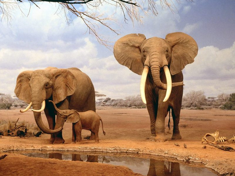 الفيل الأفريقي (African Elephant )
