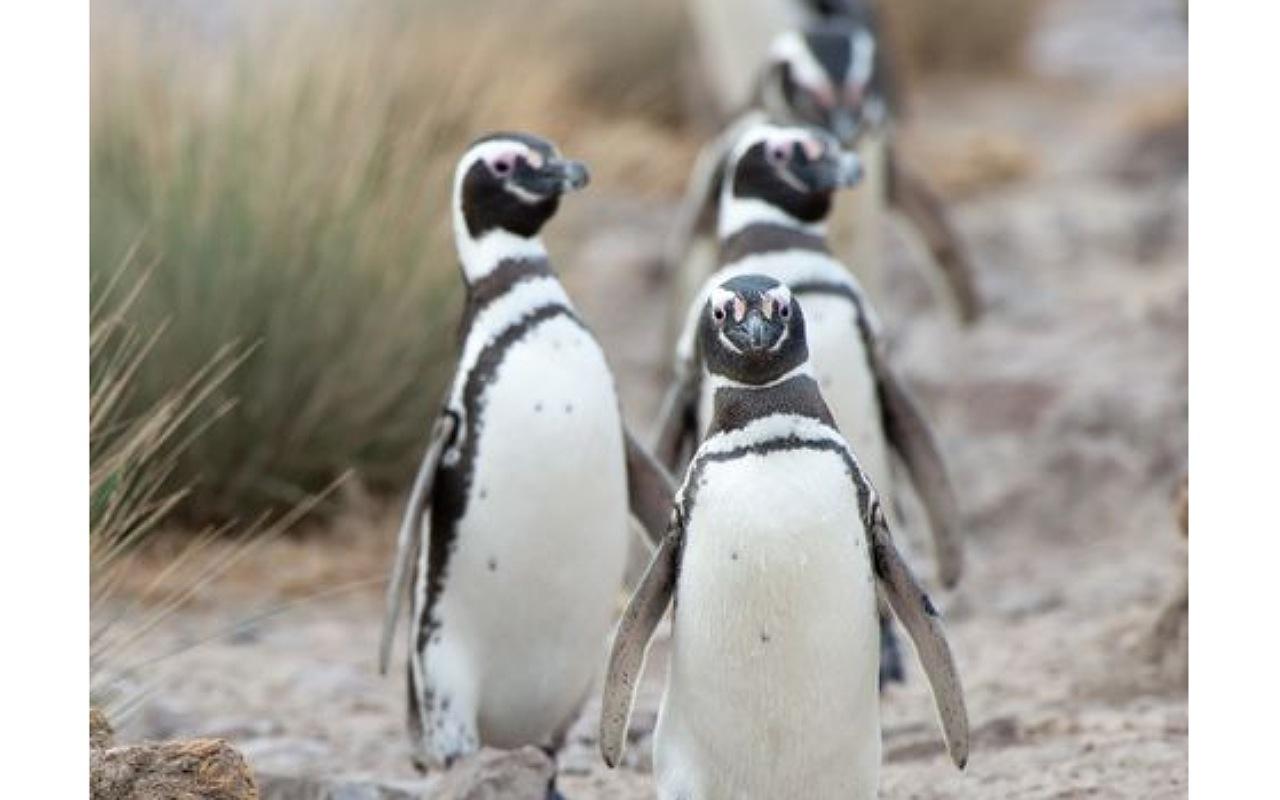حقائق عن البطريق : الأوز الغريب