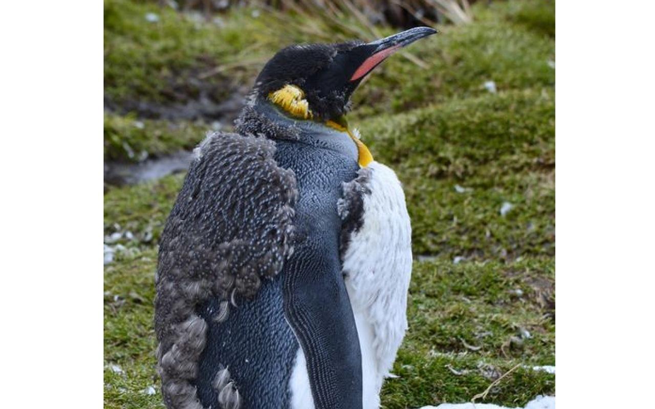 حقائق عن البطريق : تساقط ريش البطريق بأكمله