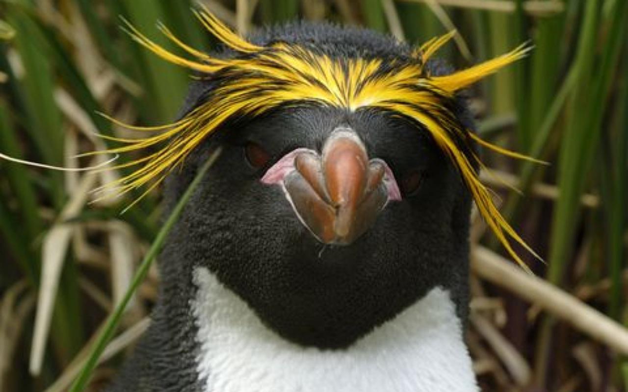 طيور البطريق الصفراء Hoiho
