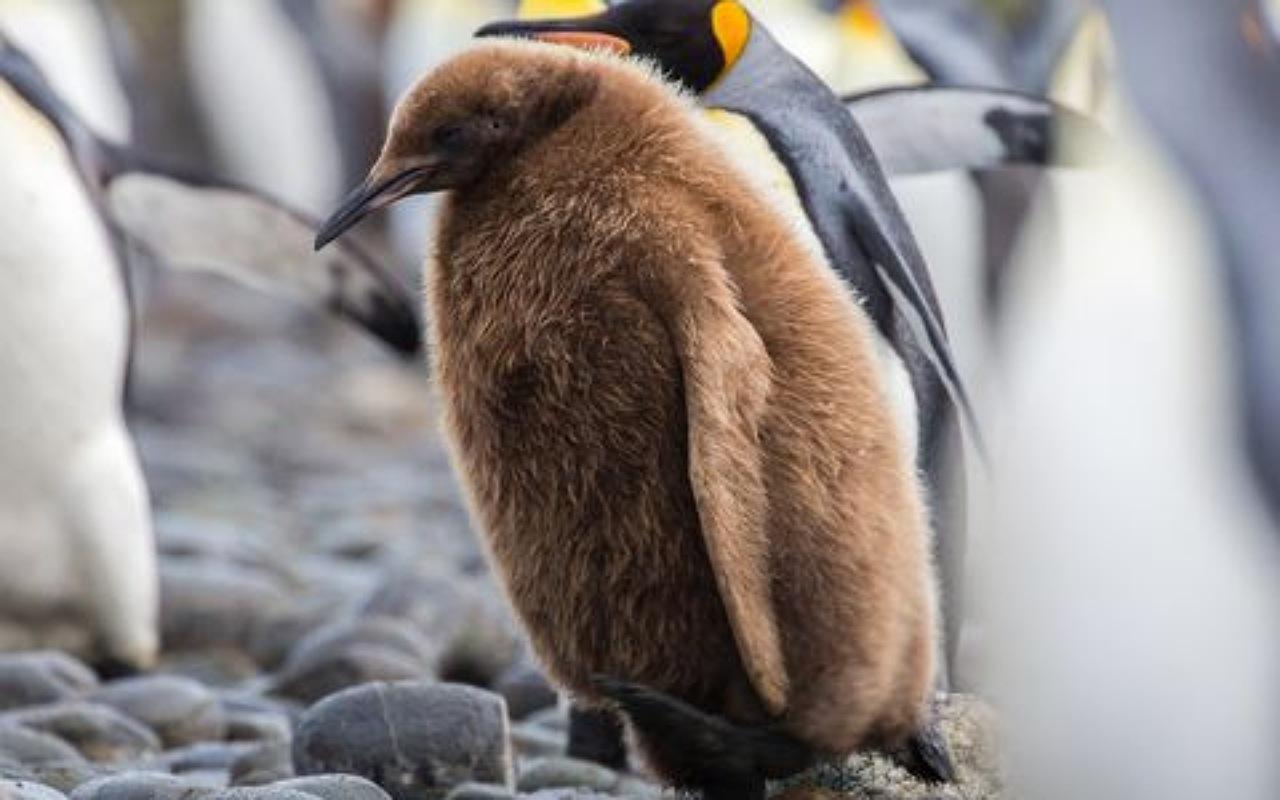 صغار البطريق