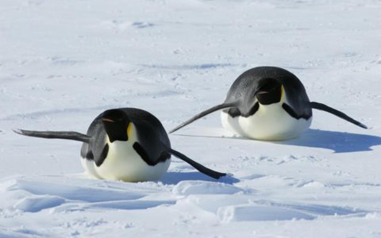 البطاريق تُحب التزلج