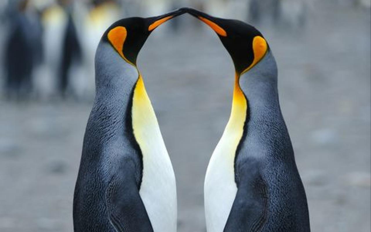 حقائق عن البطريق : التزاوج في البطاريق