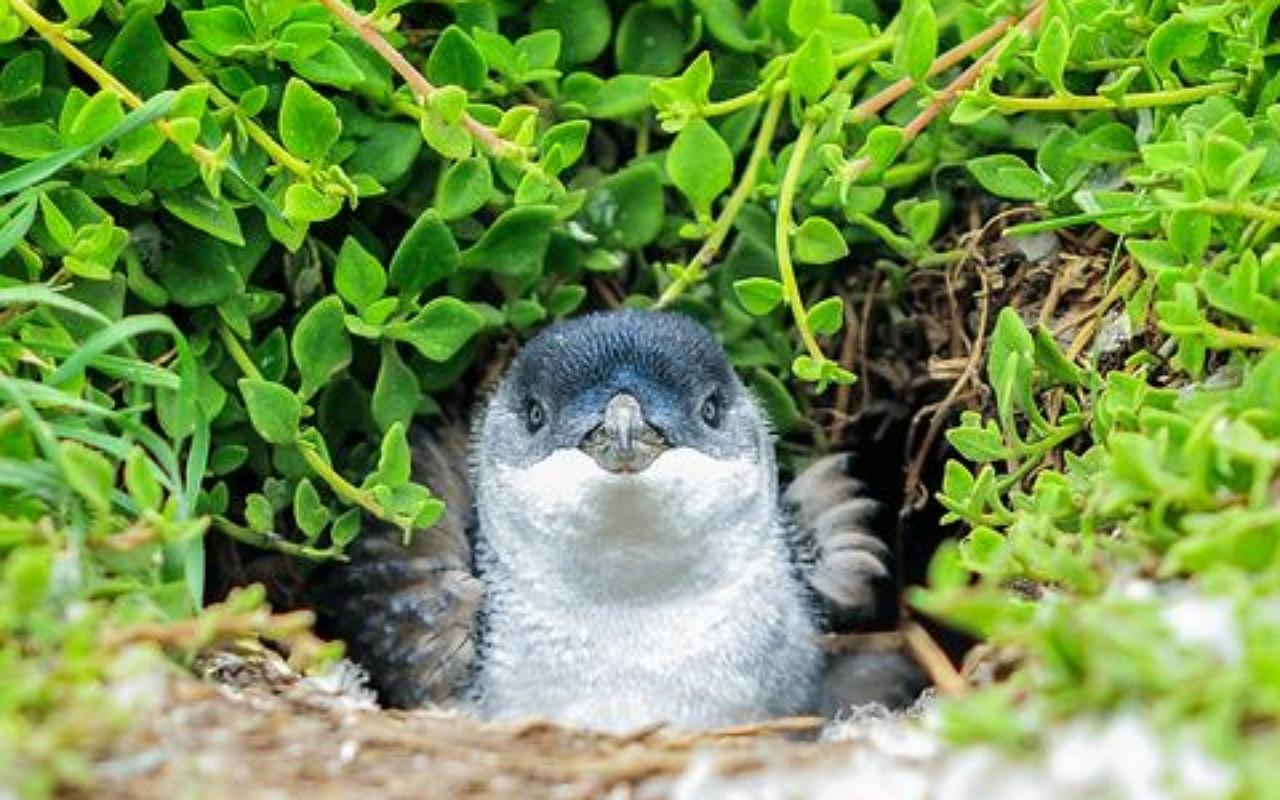 حقائق عن البطريق : أعشاش البطريق