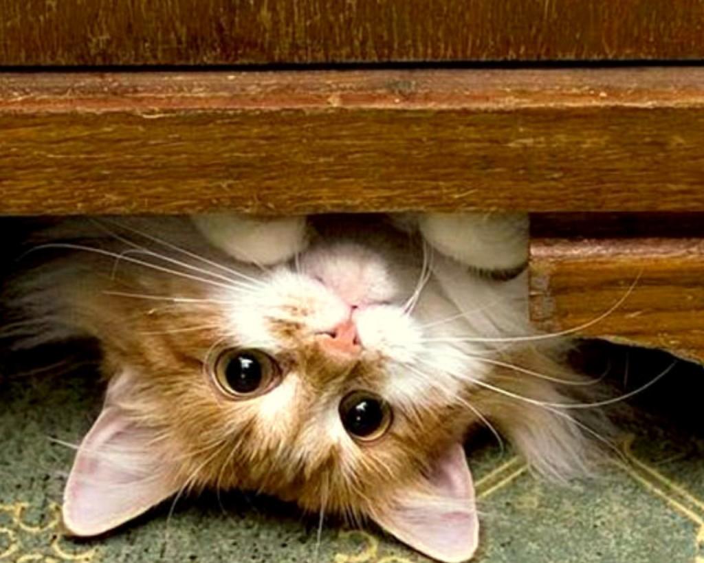 كيفية مقاومة حساسية القطط