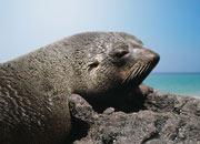 juan-fernandez-fur-Seal-banner