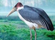 marabou-storks-banner