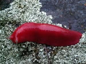 mt-kaputar-pink-slugs-1[2]