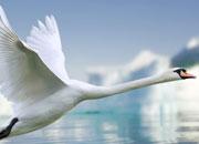 mute-swans-banner