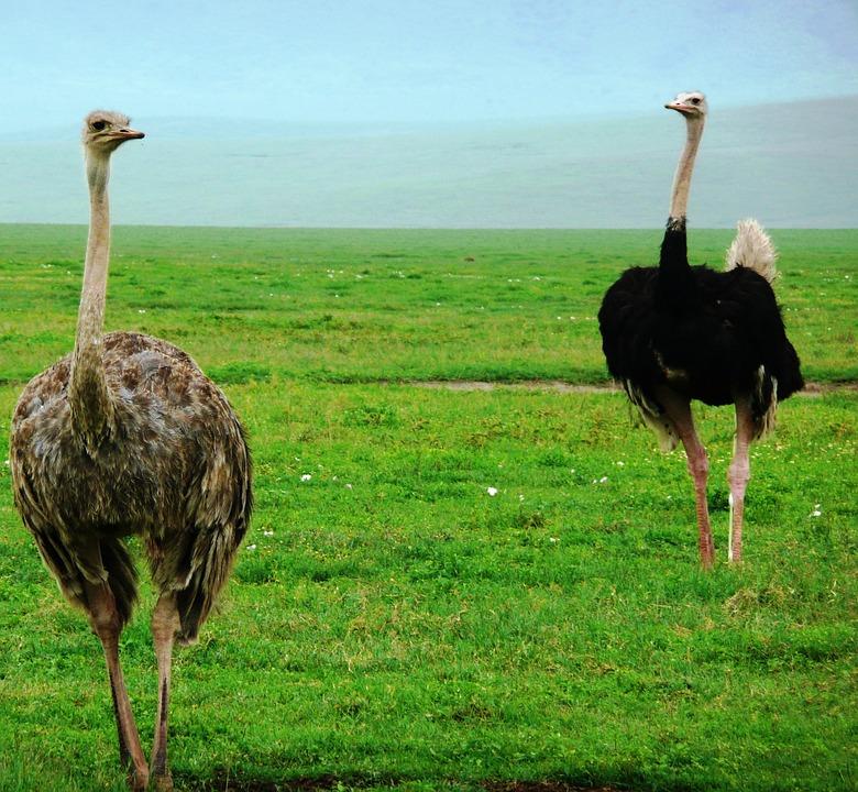 النعامة (Ostrich )