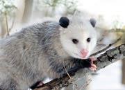 opossum-banner