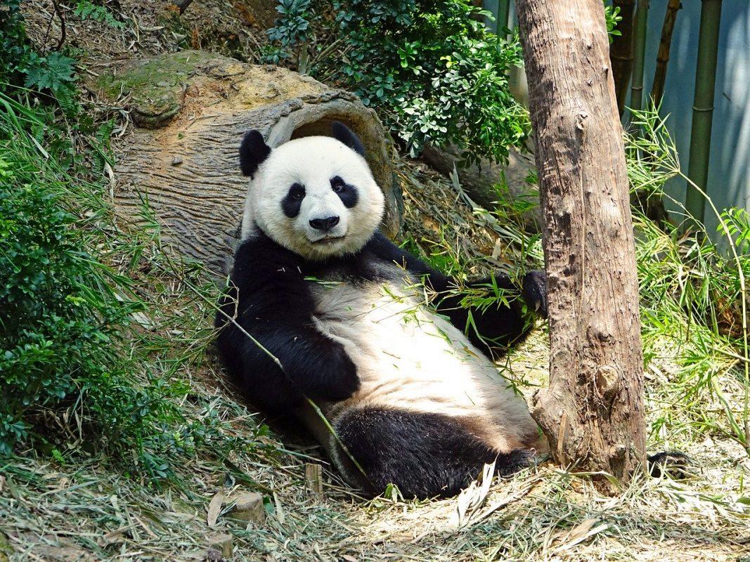 كيف تعرضت الباندا للخطر و ما الذي بذلته الصين من أجل حمايتها