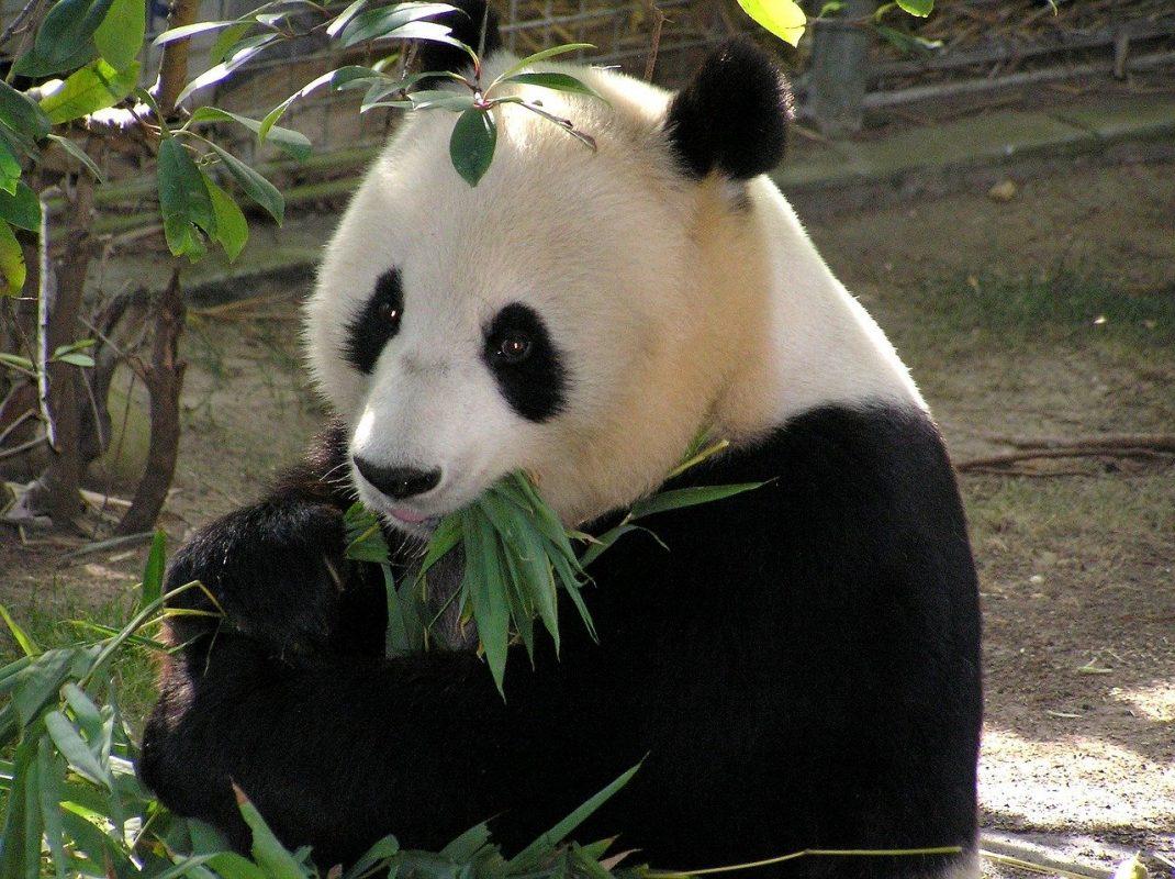 معلومات عن حيوان الباندا و كل ما تريد معرفته من حقائق