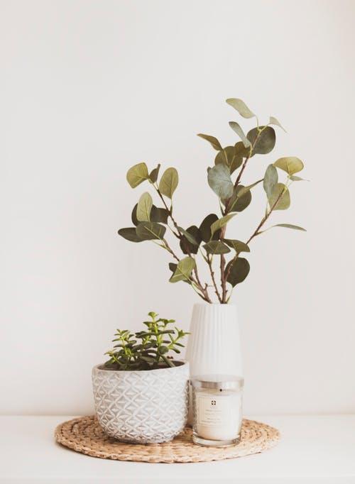 نبات دمعة الطفل
